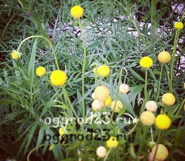 ароматные цветы для сада 37