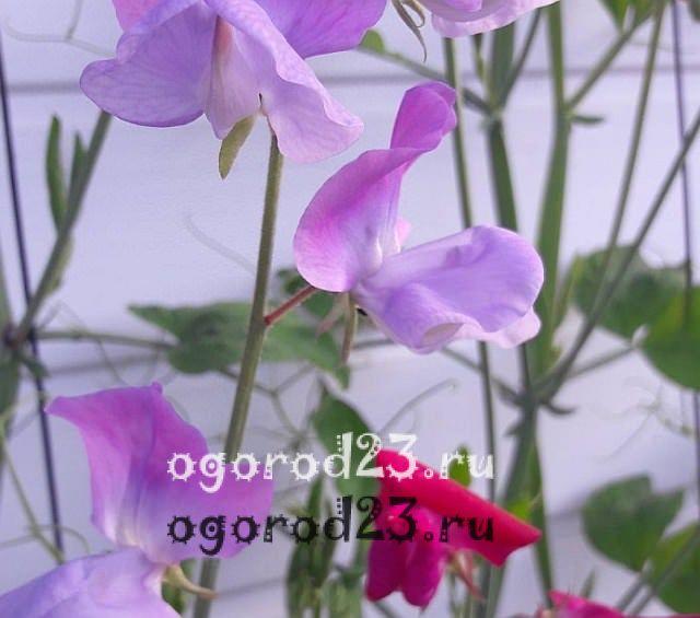 ароматные цветы для сада 10