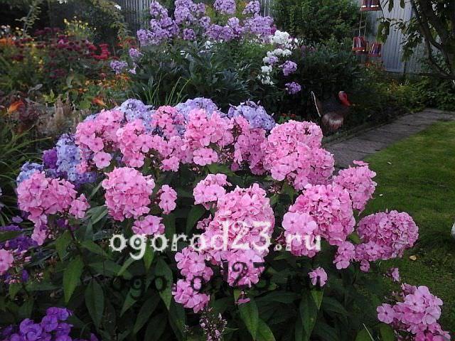 ароматные цветы для сада 2