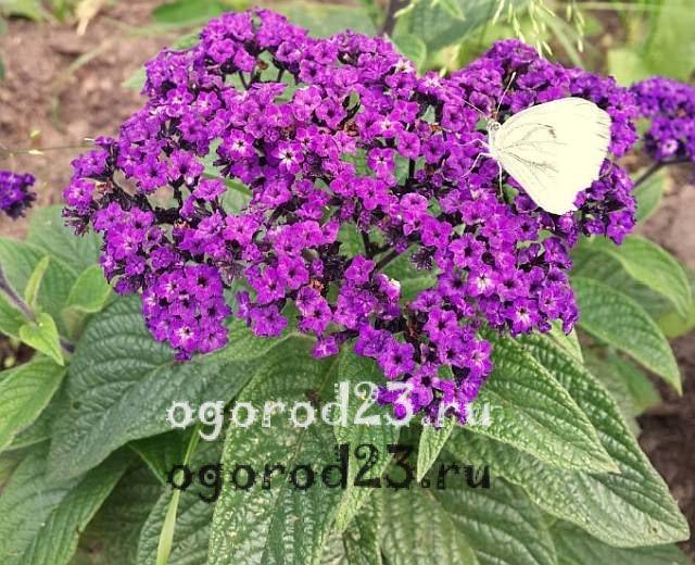 ароматные цветы для сада 31