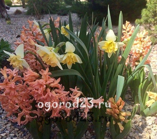ароматные цветы для сада 33