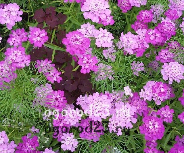 ароматные цветы для сада 23