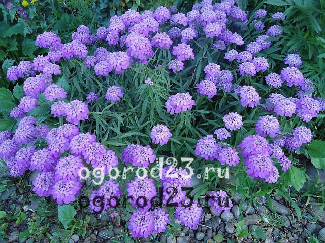 ароматные цветы для сада 24