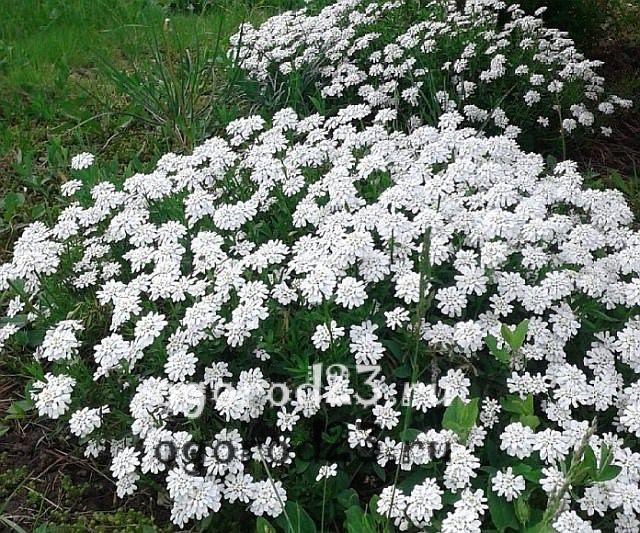 ароматные цветы для сада 25