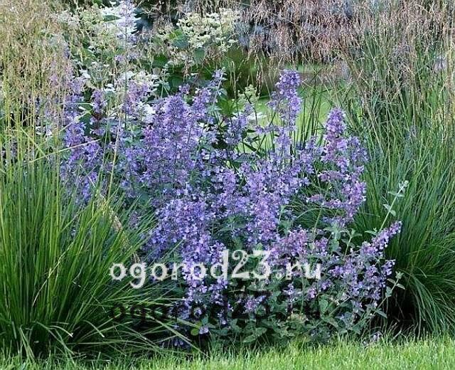 ароматные цветы для сада 29