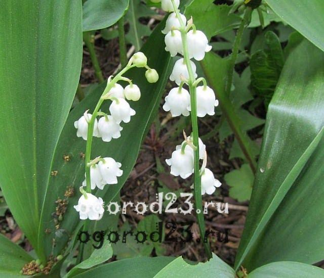 ароматные цветы для сада 17
