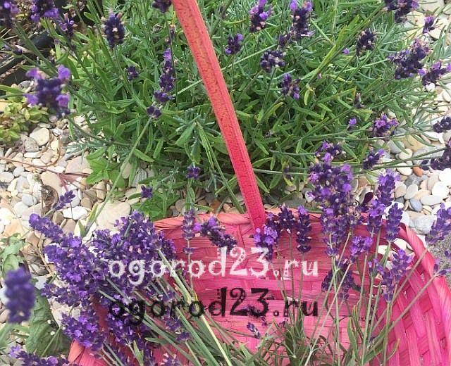 ароматные цветы для сада 30