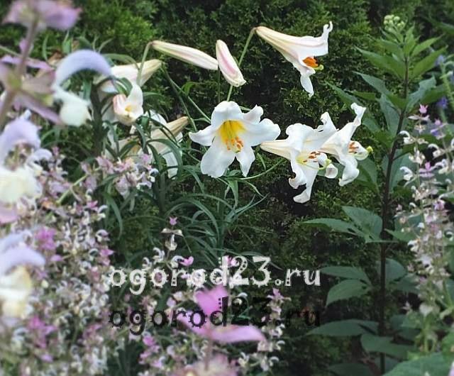 ароматные цветы для сада 27