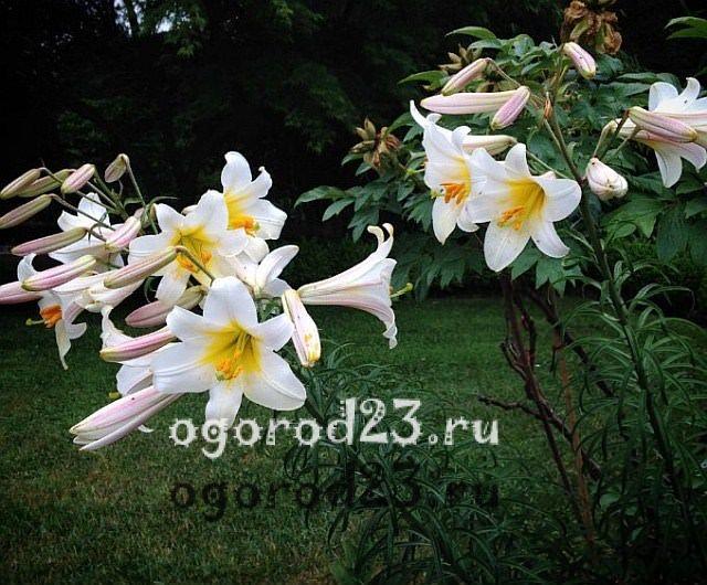 ароматные цветы для сада 26