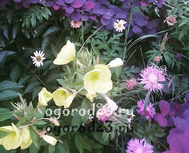 ароматные цветы для сада 32