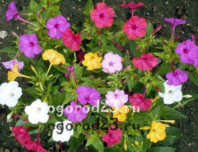 ароматные цветы для сада 19