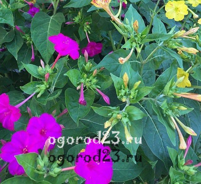 ароматные цветы для сада 18