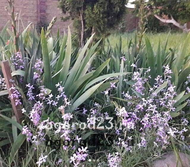 ароматные цветы для сада 3