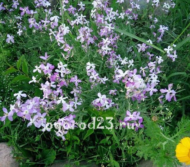 ароматные цветы для сада 4