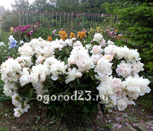 ароматные цветы для сада 12