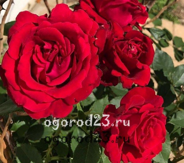 ароматные цветы для сада 8