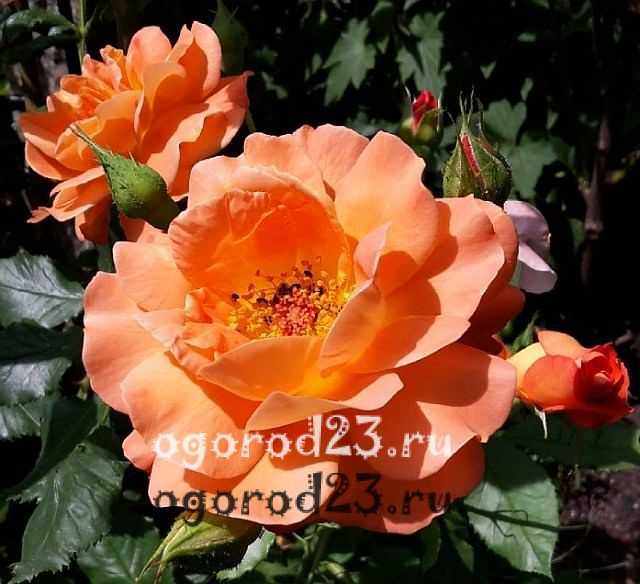 ароматные цветы для сада 5