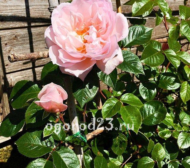 ароматные цветы для сада 6