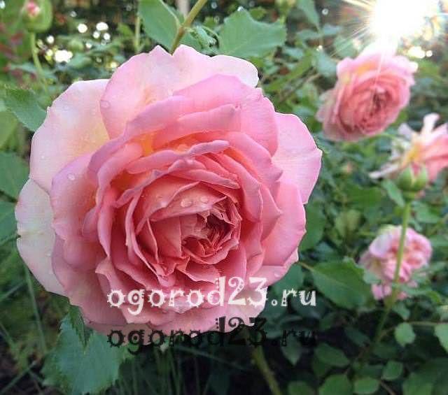 ароматные цветы для сада 7