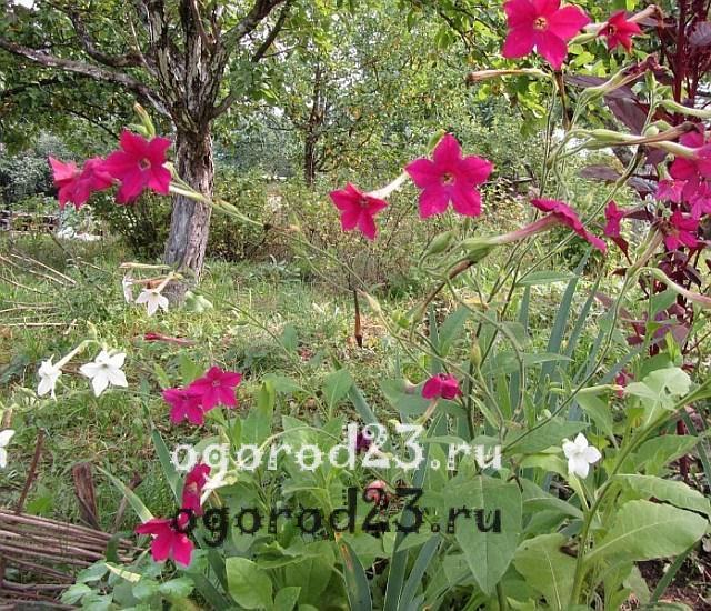 ароматные цветы для сада 15