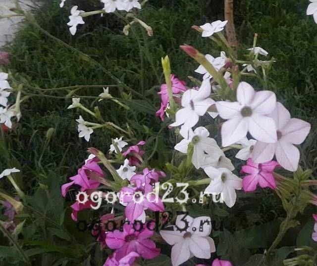 ароматные цветы для сада 14