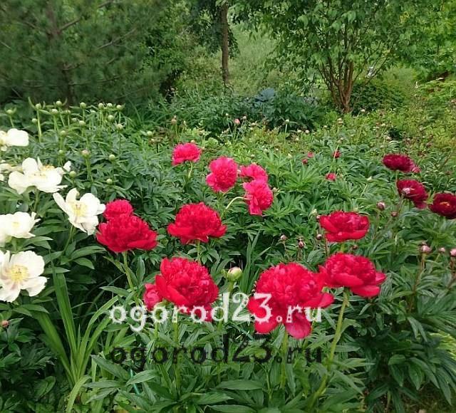 ароматные цветы для сада 13