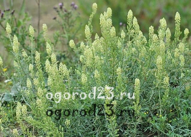 ароматные цветы для сада 11