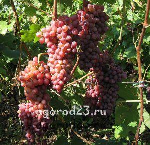 Виноград сорта Кишмиш Лучистый описание фото отзывы 100