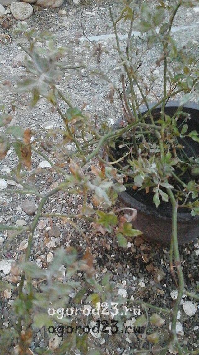плетистая роза посадка и уход в открытом грунте 9