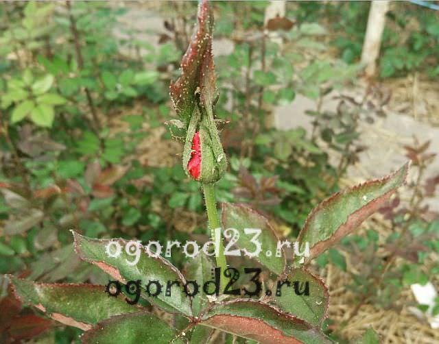 плетистая роза посадка и уход в открытом грунте 8
