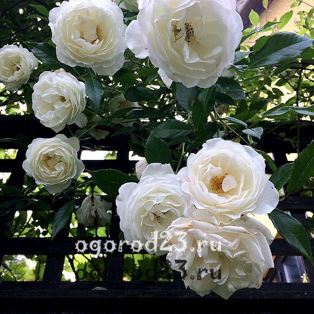плетистая роза посадка и уход в открытом грунте 11