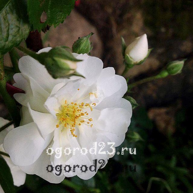 плетистая роза посадка и уход в открытом грунте 17