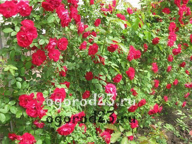 плетистая роза посадка и уход в открытом грунте 15