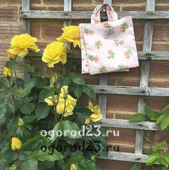плетистая роза посадка и уход в открытом грунте 18