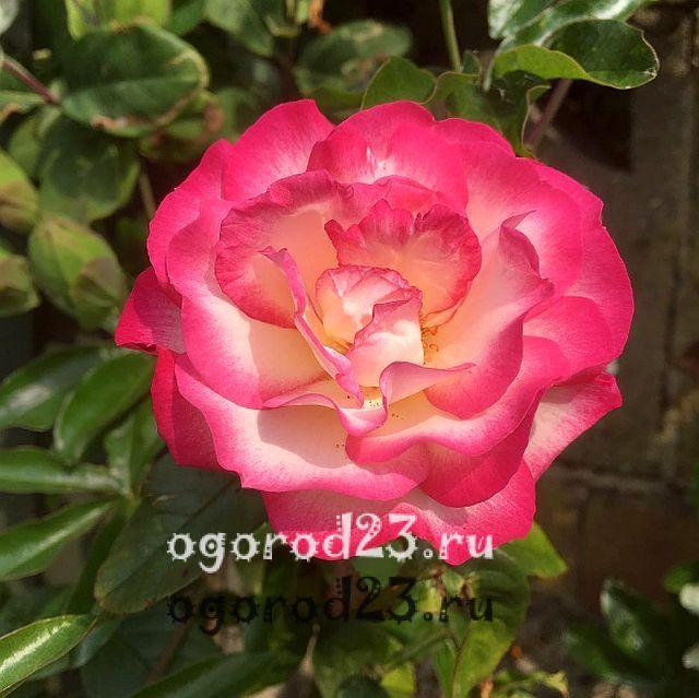плетистая роза посадка и уход в открытом грунте 16