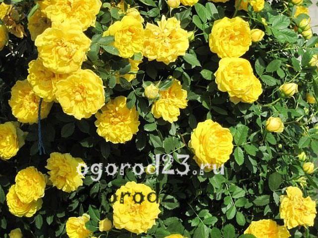 плетистая роза посадка и уход в открытом грунте - 21
