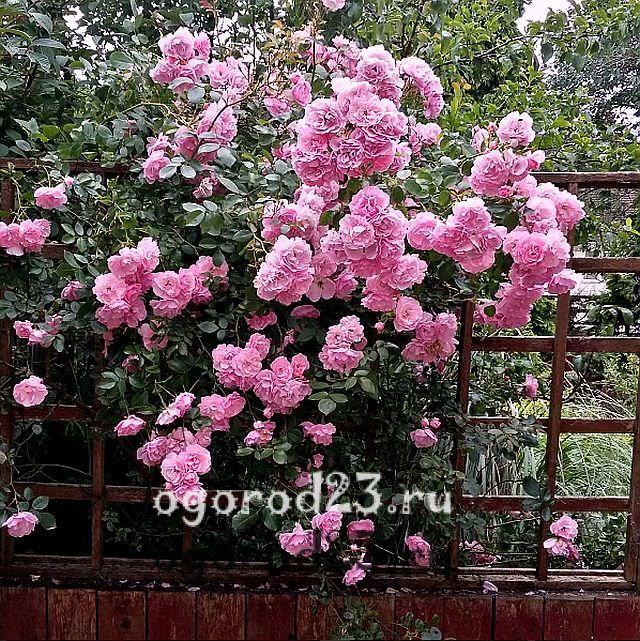 плетистая роза посадка и уход в открытом грунте 12