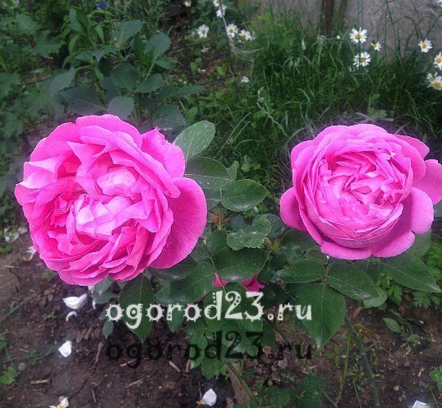 плетистая роза посадка и уход в открытом грунте 19