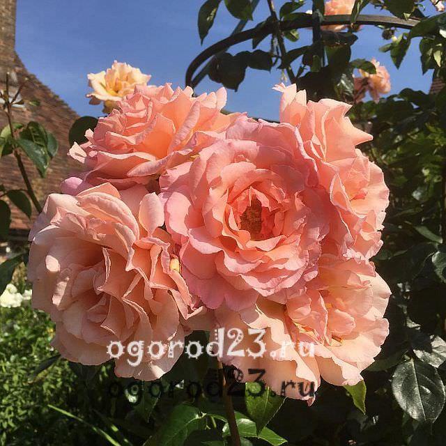 плетистая роза посадка и уход в открытом грунте 13