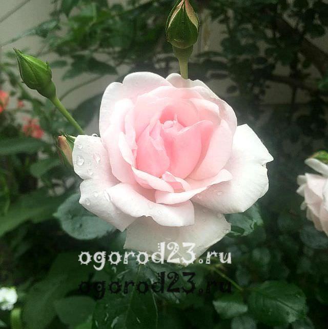 плетистая роза посадка и уход в открытом грунте 20