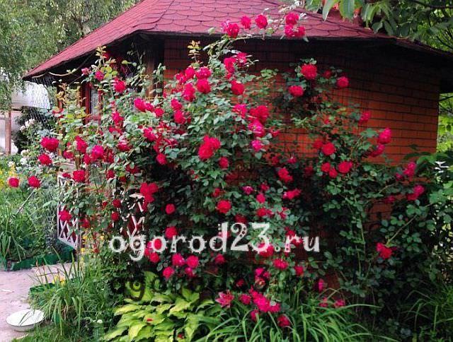 плетистая роза посадка и уход в открытом грунте