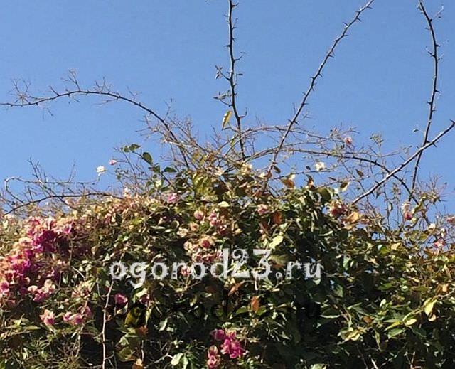 плетистая роза посадка и уход в открытом грунте 4