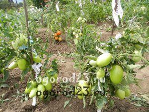 когда обрывать листья у помидоров 100