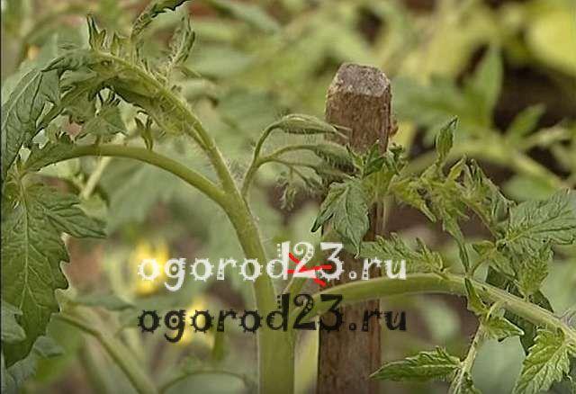 когда обрывать листья у помидоров 3