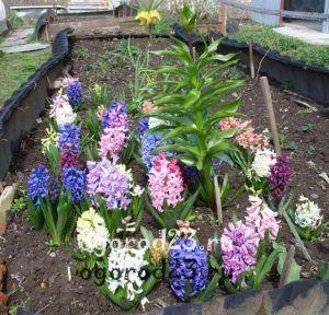 Гиацинт выращивание в открытом 516