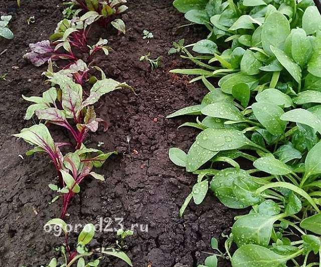как сажать шпинат семенами в открытом грунте 2