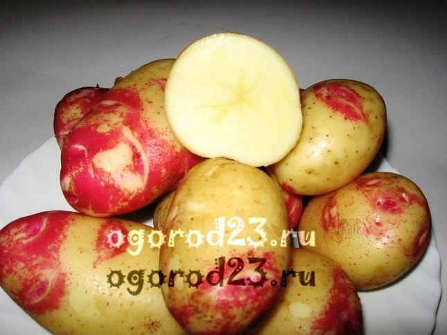 сорта картофеля 1004
