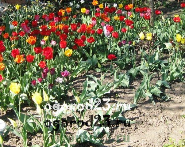 когда сажать тюльпаны 108