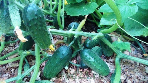 Сорта огурцов, устойчивых к болезням 7