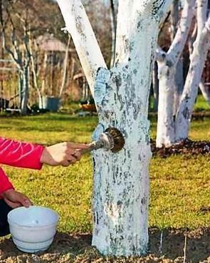 побелка деревьев на зиму
